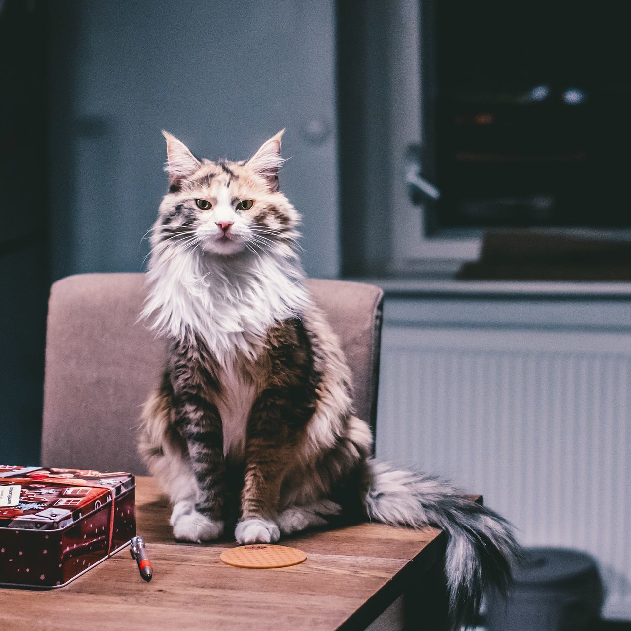 domestic cat, pets, domestic animals, one animal, animal themes, mammal, sitting, indoors, feline, looking at camera, table, no people, portrait, day, close-up