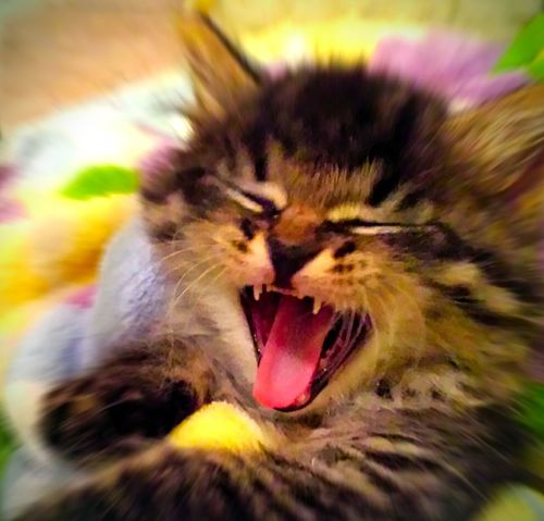 Kitten Yawning Baby Cat♡ Yawn Yawning Cat Kittycat Kitty Kittycuteness Catlovers Cats Of EyeEm Stripped Cat