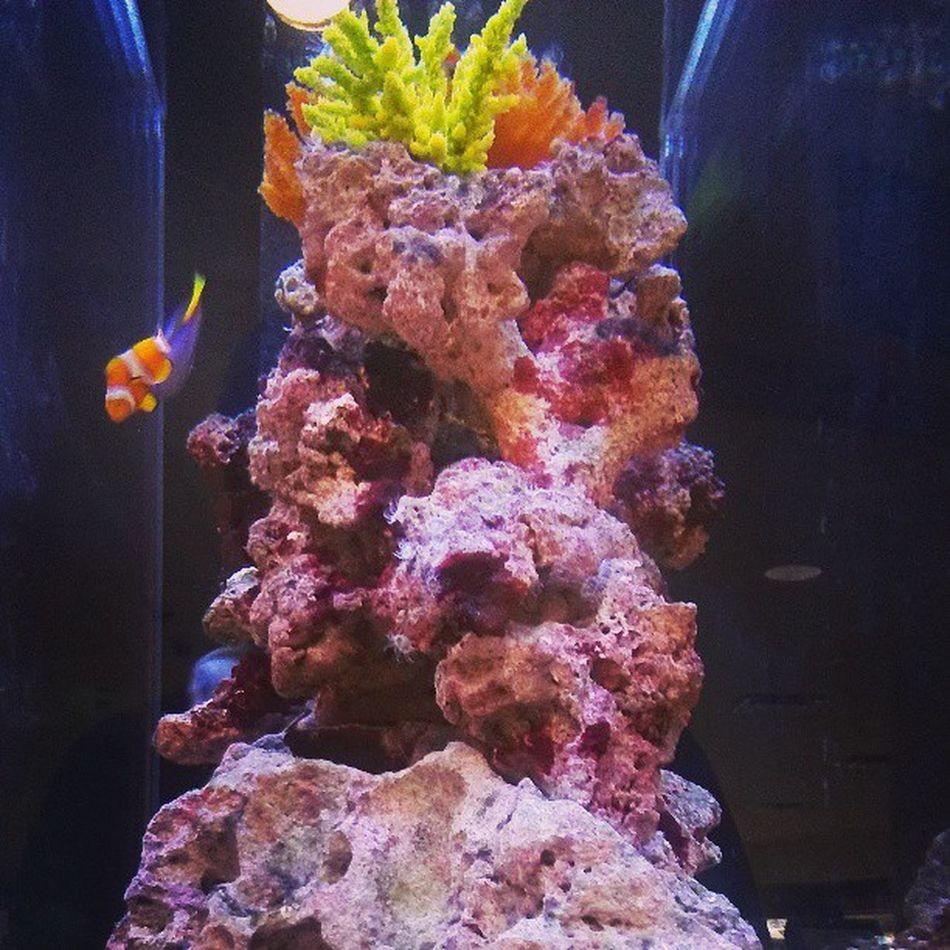 Aquarium Findingnemo Clownfish Dorie Nemo Fish Fishtank Water Rocks follow4follow