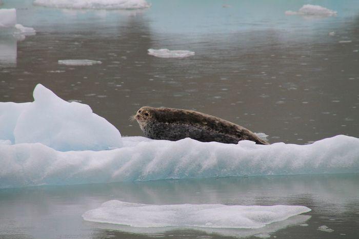 Harbor seal on iceberg, Alaska One Animal Water Animal Wildlife Mammal Outdoors The Great Outdoors - 2017 EyeEm Awards Global Warming Live For The Story Iceberg - Ice Formation EyeEmNewHere Shades Of Winter
