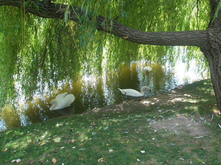 #animals #nature #swans #Swan