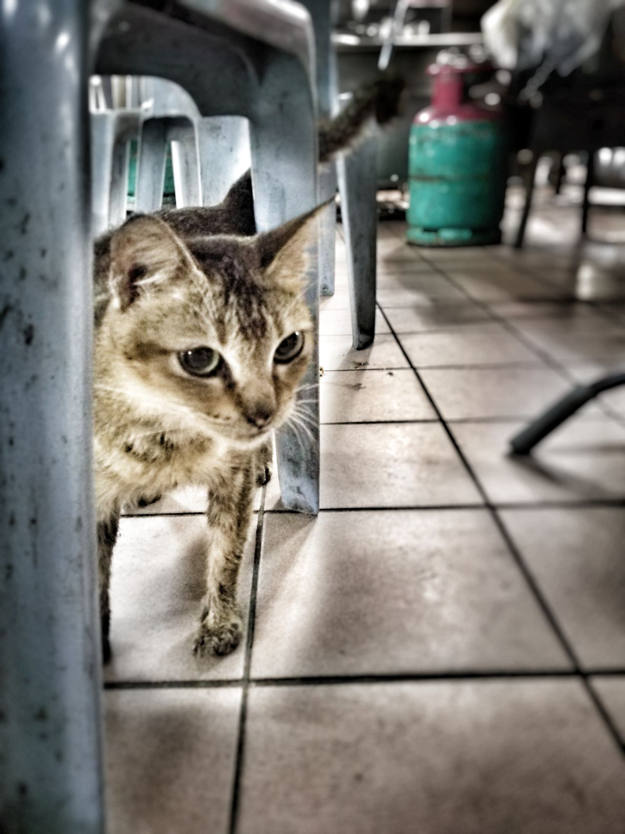 Cat looking for food in food court. Animal Themes Pets Domestic Cat One Animal Domestic Animals Cat Homeless Cat Animal Homeless Homeless Animal Homelessness  Kitten Homelessness  Homeless Cats Animalphotography Homelessness  Homeless Kitten HuaweiP9Photography Huawei P9 Plus Hua Wei P9 Plus Homelessness  Huaweiphotography Looking At Camera Homelessness  HuaweiP9