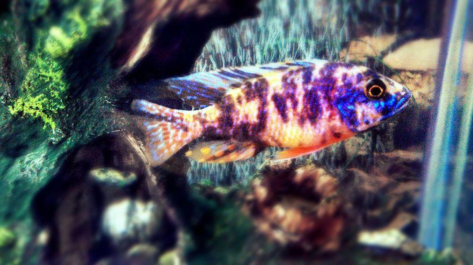 Colorful :-) Fish Cichlid