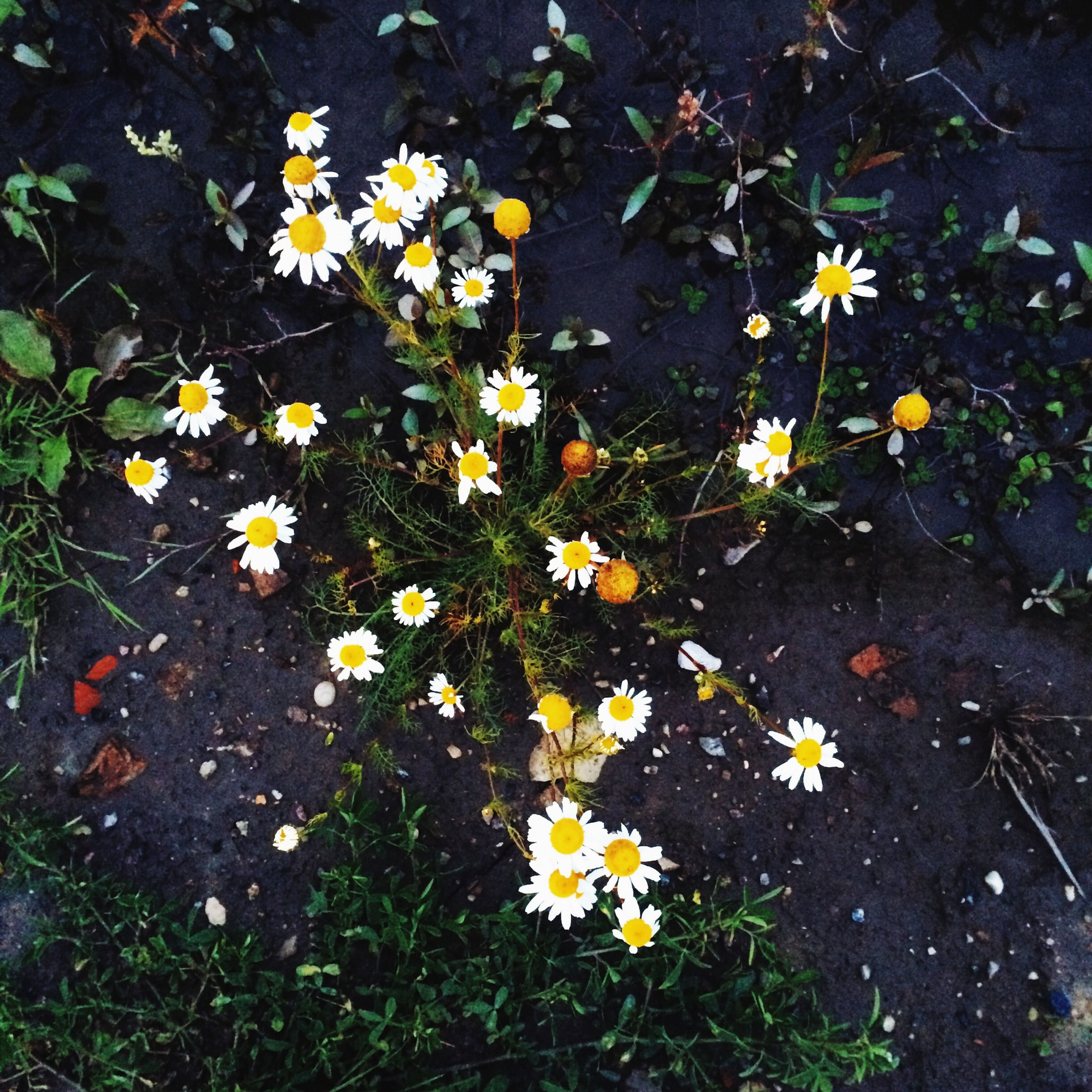 flower, high angle view, fragility, petal, yellow, freshness, growth, leaf, plant, beauty in nature, nature, flower head, field, blooming, daisy, grass, white color, in bloom, day, no people