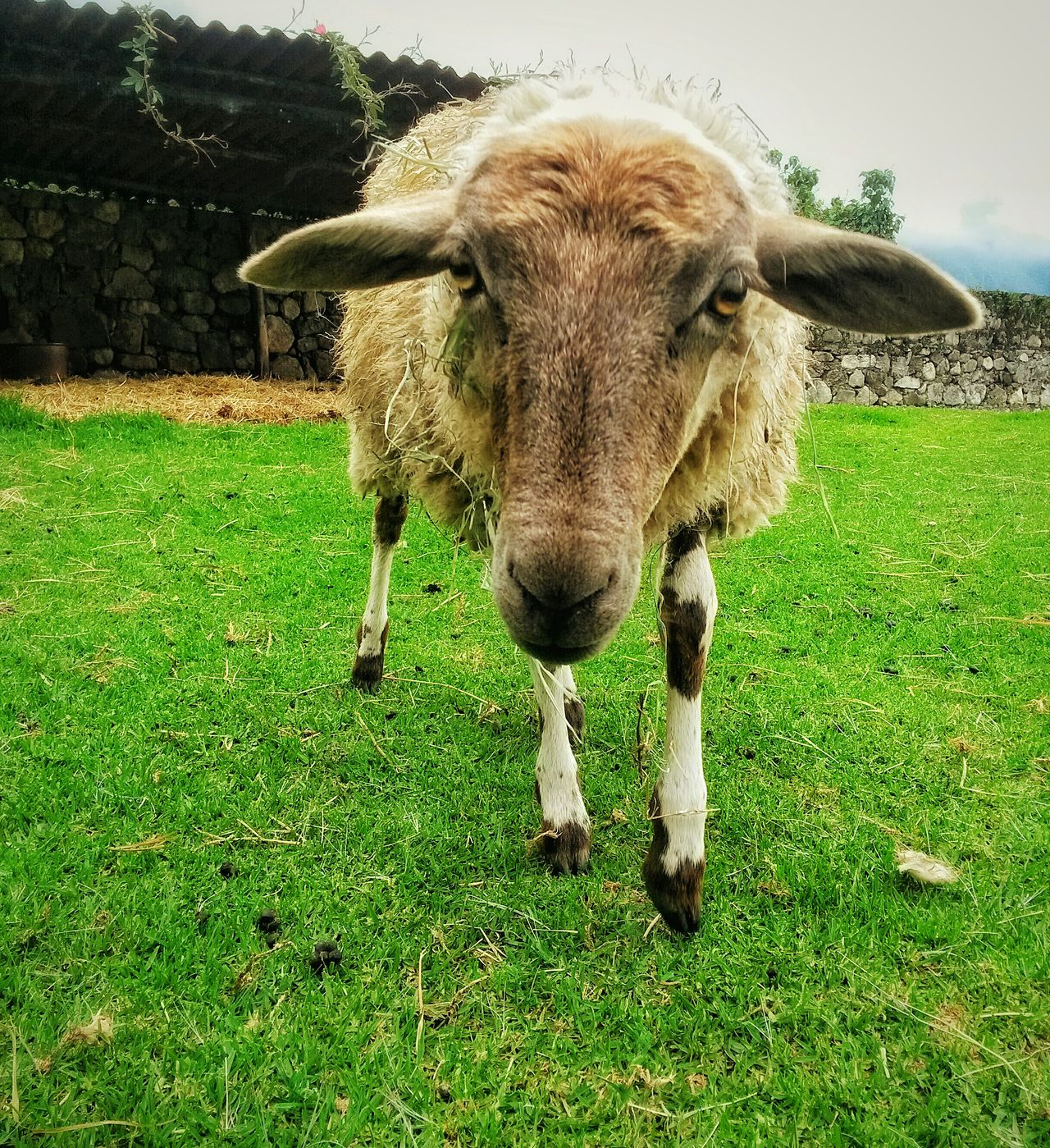 Sheep Safuca Hello World Animal Photography