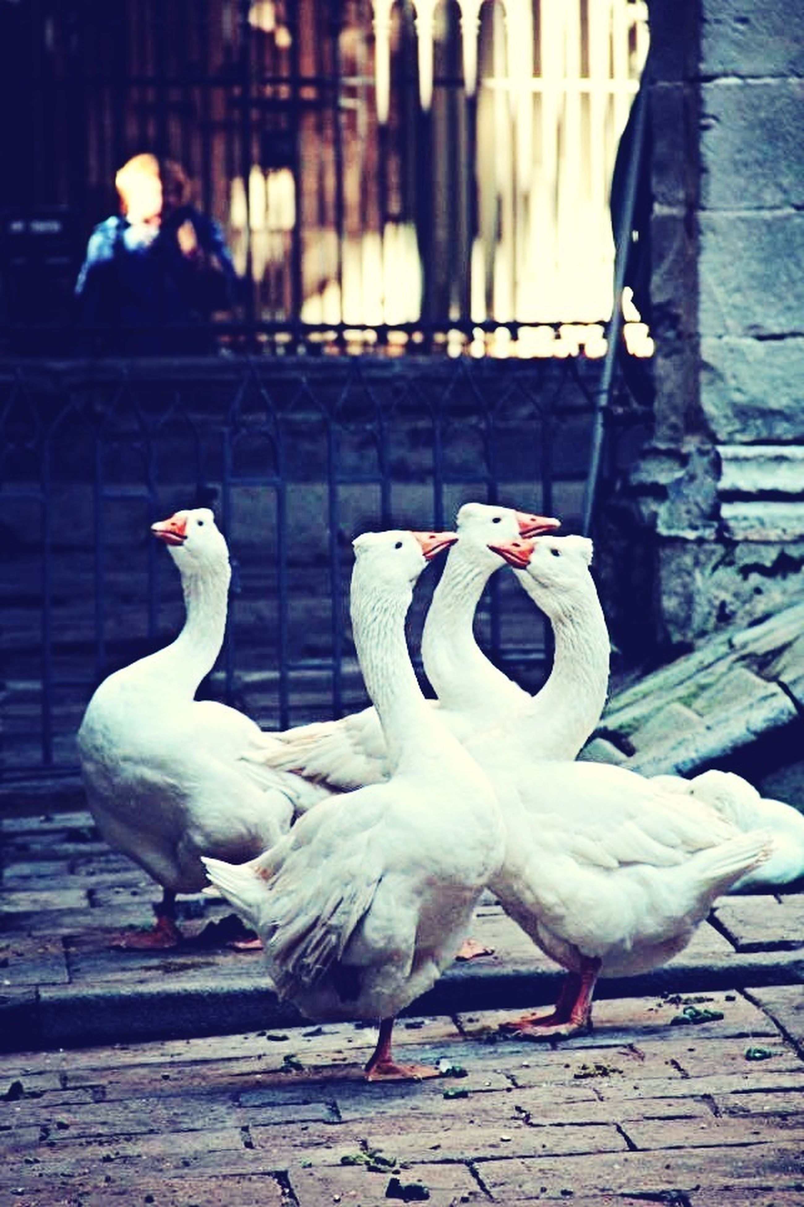 bird, animal themes, animals in the wild, wildlife, pigeon, togetherness, white color, swan, two animals, medium group of animals, flock of birds, perching, outdoors, three animals, seagull, beak, day, full length, nature, focus on foreground