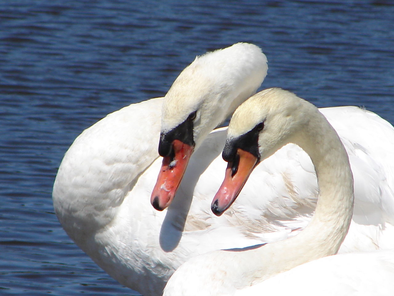 Animal Themes Animal Wildlife Animals In The Wild Beak Bird Blue Water Close-up Day Lake Nature No People Outdoors Rippled Water Swan Swans Togetherness Water