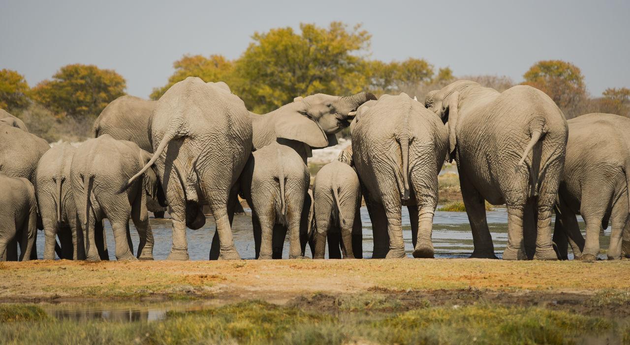 Beautiful stock photos of elefant, elephant, animals in the wild, animal themes, nature