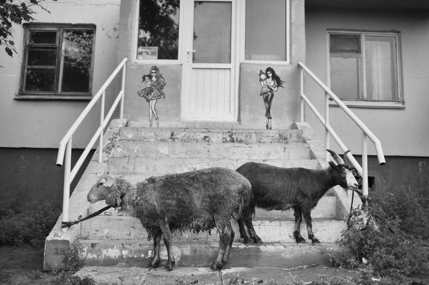 Mongolia 2016, Streetphotography Monochrone Animals Goats Candid Photography