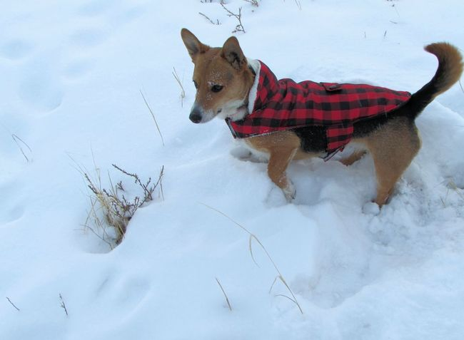 Animal Themes Corgi Corgi :) Cute Cute Animals Cute Dog  Cute Pets Cute♡ Dog Dogs Dogslife Dog❤ Domestic Animals Mammal One Animal Outdoors Pets Playin In The SNOW Playing Snow Snow Covered Snow Day Snow ❄ Snowy Welsh Corgi
