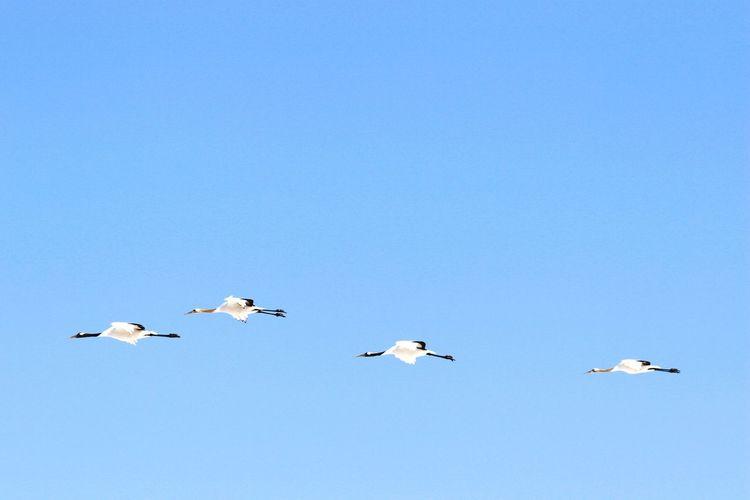 WhiteCollection 丹頂鶴 北海道 Hokkaido Japanese Crane Japan 日本 Animal_kei