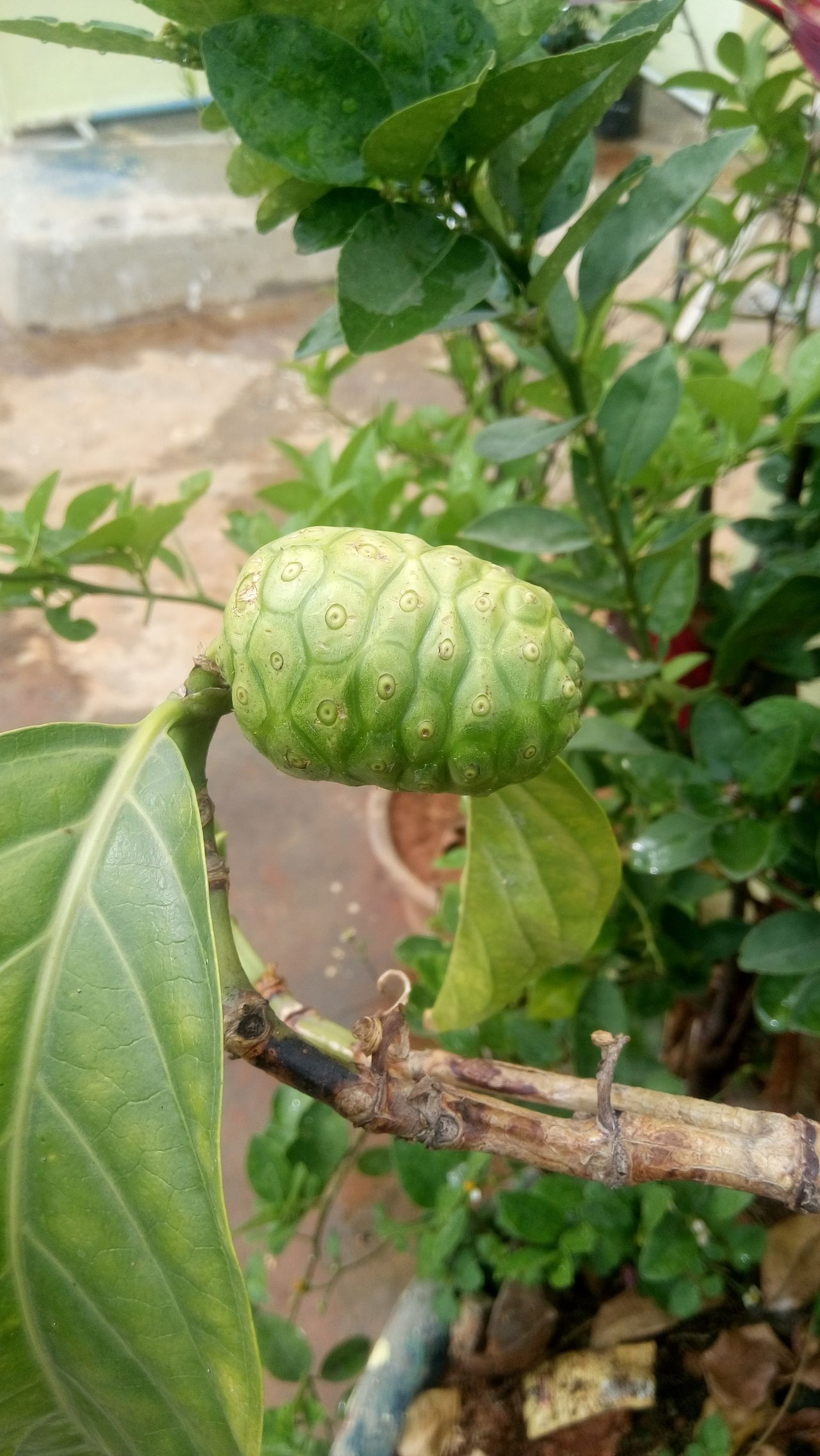 Noni fruit Leaf Green Color Animals In The Wild Animal Themes Nature Plant Close-up Animal Wildlife One Animal No People Growth Day Outdoors Beauty In Nature Insect Freshness Chameleon EyeEm Nature Lover EyeEm Fruit Collection Fruits And Vegetables