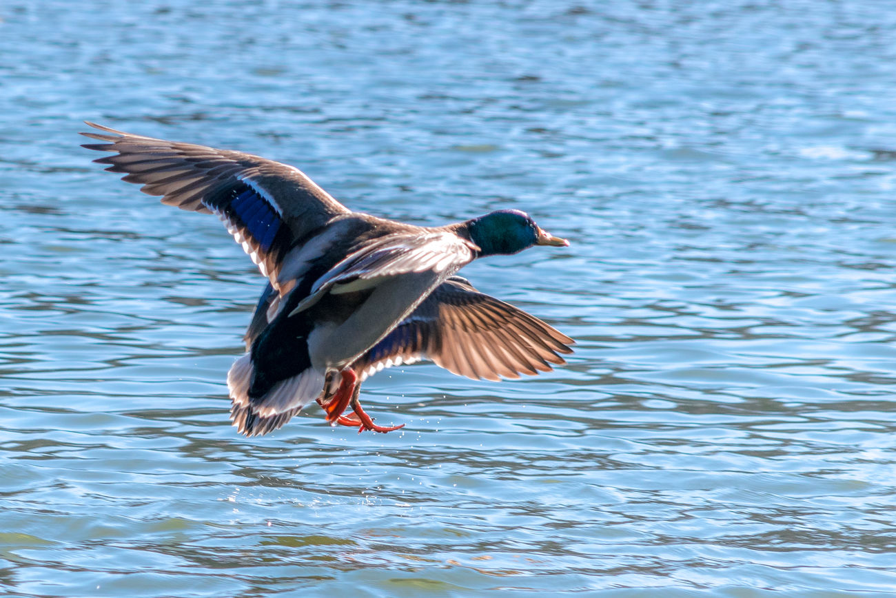 Animal Themes Animal Wildlife Animals In The Wild EyeEm Nature Lover Flying Bird Lake Mallard Duck My Point Of View My Unique Style Nature Riverside Riverside Wildlife Wildlife Wildlife & Nature Wildlife Birds Wildlife Photography