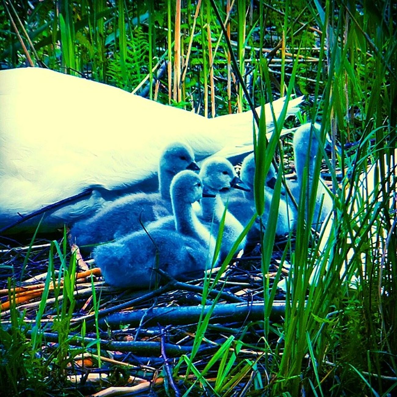 Adorable Blue!? Swans Nestlings