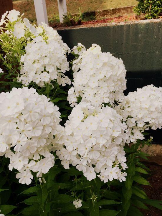 White flowers Phlox phlox Phlox Flowers floral Beautiful Nature front yard Green Leaves