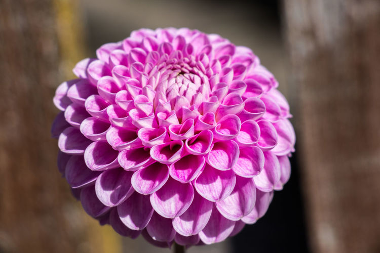 marvelous pink dahlia pinnata flower Dahlia Pinnata Beauty In Nature Blooming Close-up Day Flower Flower Head Focus On Foreground Fragility Freshness Growth Nature No People Outdoors Petal Pink Color Plant