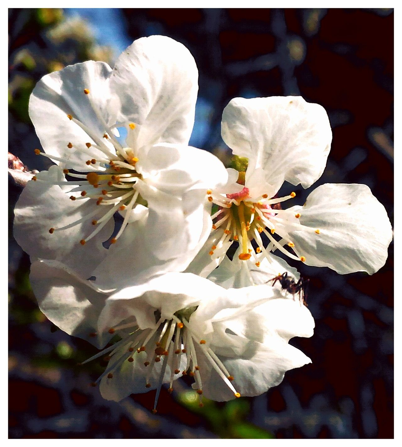 Spring Flowers Showcase April Flowers, Nature And Beauty Cherry Blossoms Ant White White Flower