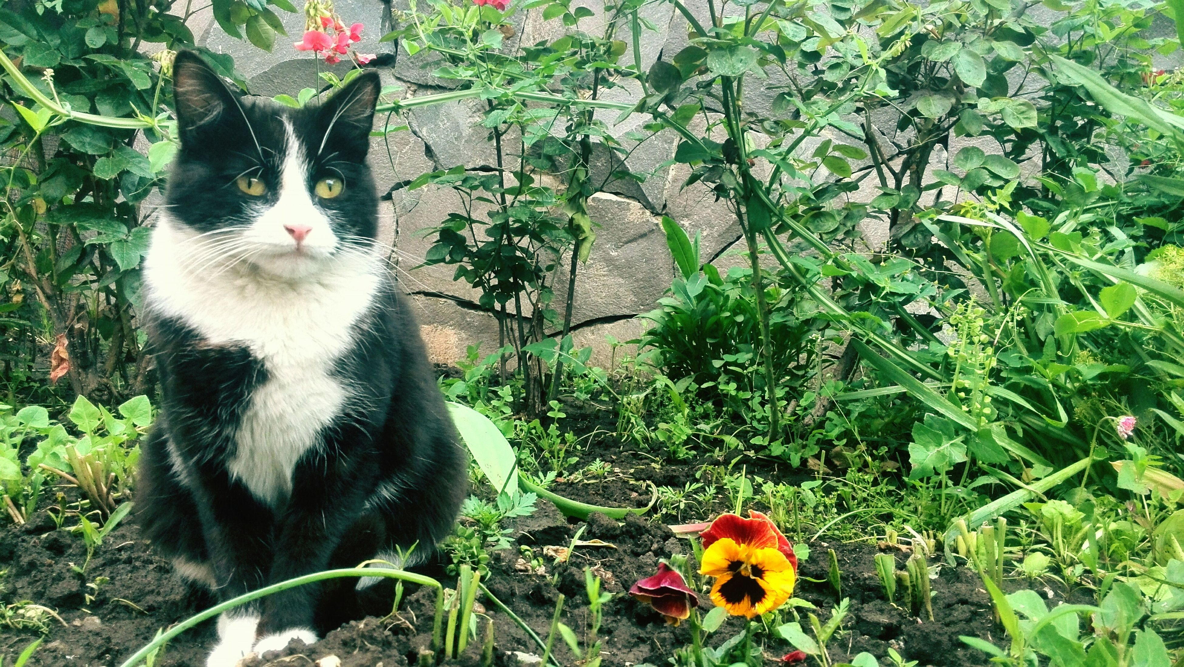 animal themes, one animal, domestic animals, domestic cat, pets, cat, mammal, feline, flower, plant, growth, whisker, looking at camera, grass, sitting, portrait, front or back yard, nature, no people, outdoors