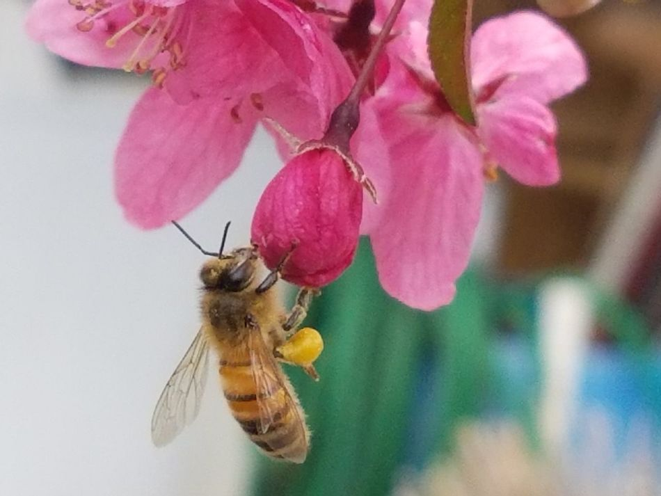 Busy Bee Insect Flower Pink Color Animal Themes Fragility Nature Plant Animals In The Wild One Animal Close-up Freshness Petal Beauty In Nature Growth Pollination No People Bee Outdoors Day Flower Head tennessee Millennial Pink
