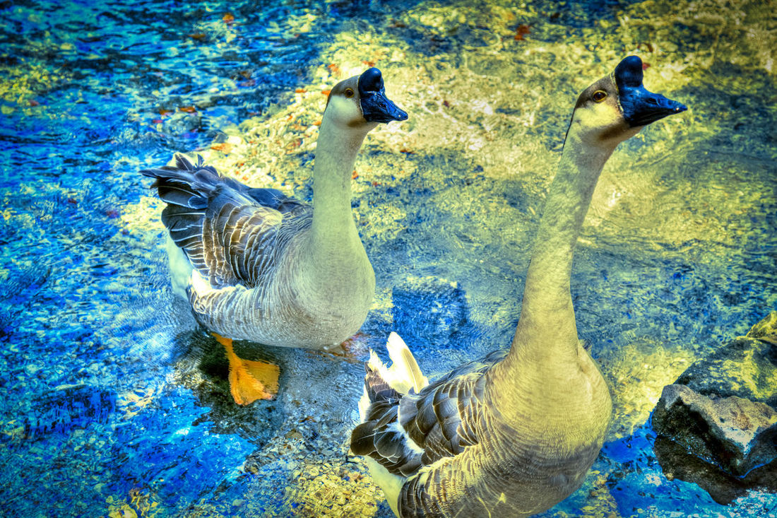 Animal Themes Animals In The Wild Beak Bird Duck Geese Good Goose New Braunfels New Braunfels TX No People Photography Pond Swimming Togetherness Water Water Reflections Wildlife Zoology