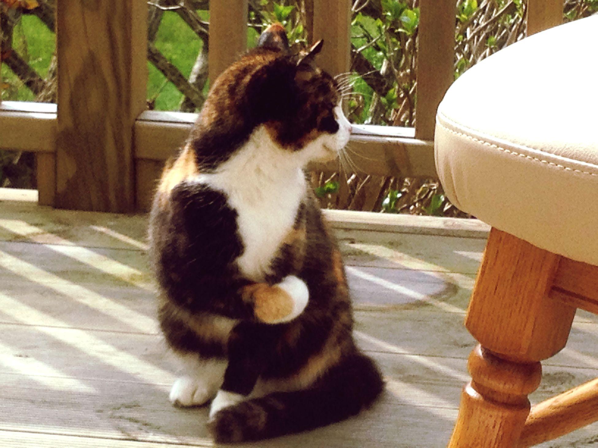 Tortoiseshell Cats . Cats Of EyeEm family pets love kindness beautiful Souls