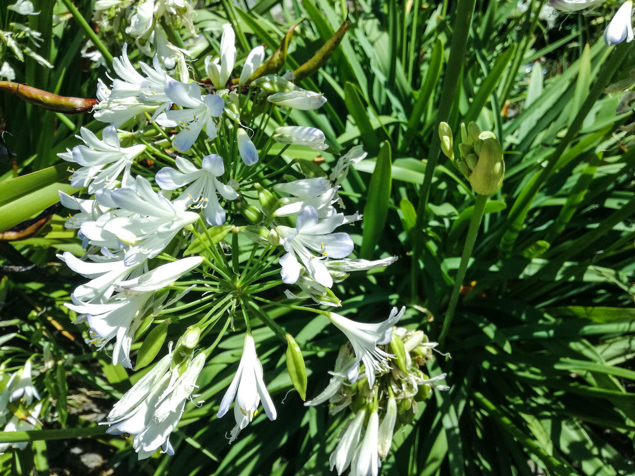 Another Agapanthus shot, in white this time. Growth Nature Green Color Beauty In Nature Leaf Plant No People Close-up Outdoors Flower Freshness Flower Head New Zealand Scenery New Zealand Beauty Agapanthus EyeEm Nature Lover EyeEm Best Shots - Nature EyeEm Flower
