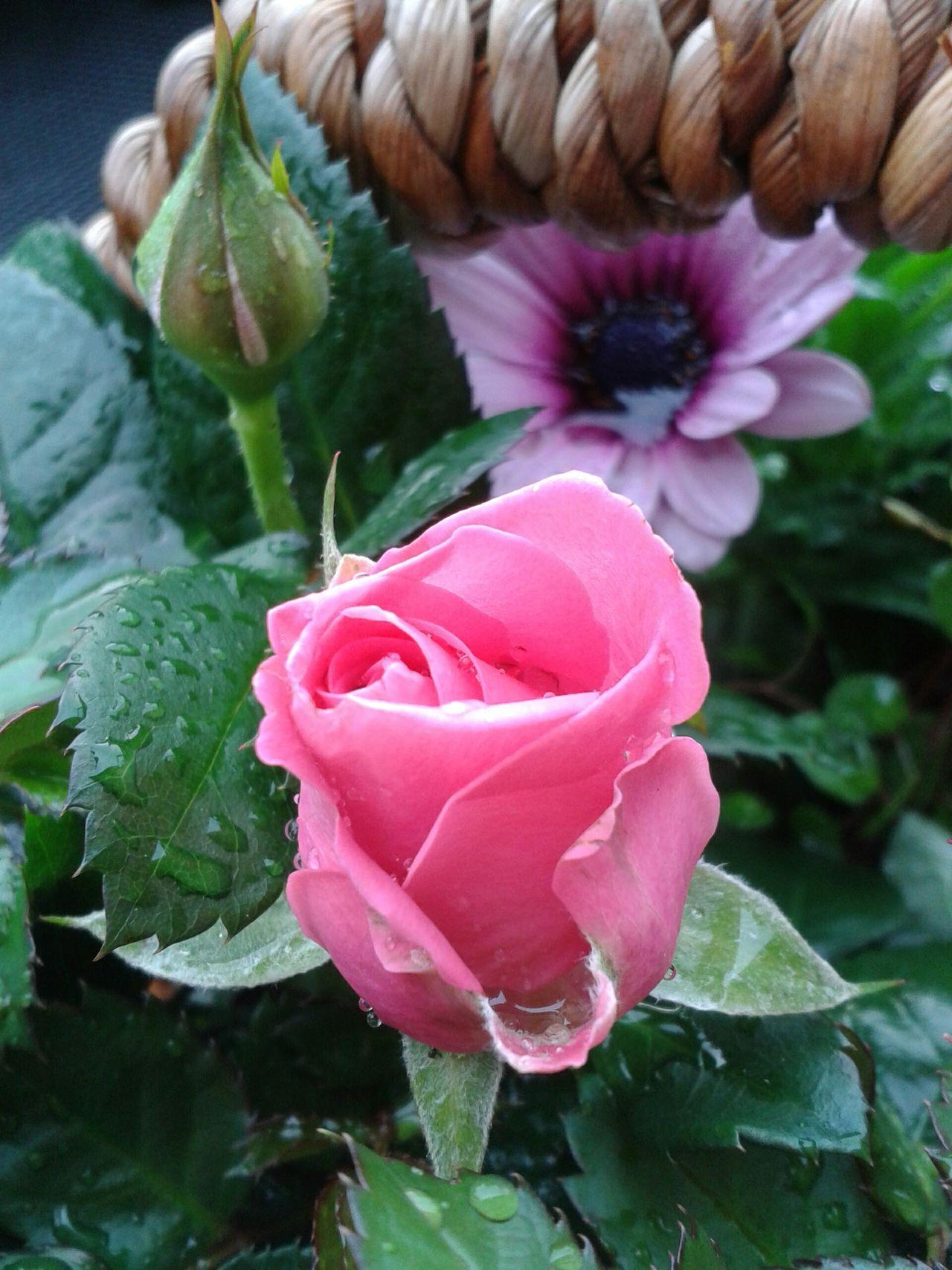 EyeEm Nature Lover 🌷 Flowers 🌹 The Purist (no Edit, No Filter) Pink Roses Flowerlovers What Eye See  Flowerporn La Vie Est Belle ! Roses🌹 Taking Photos