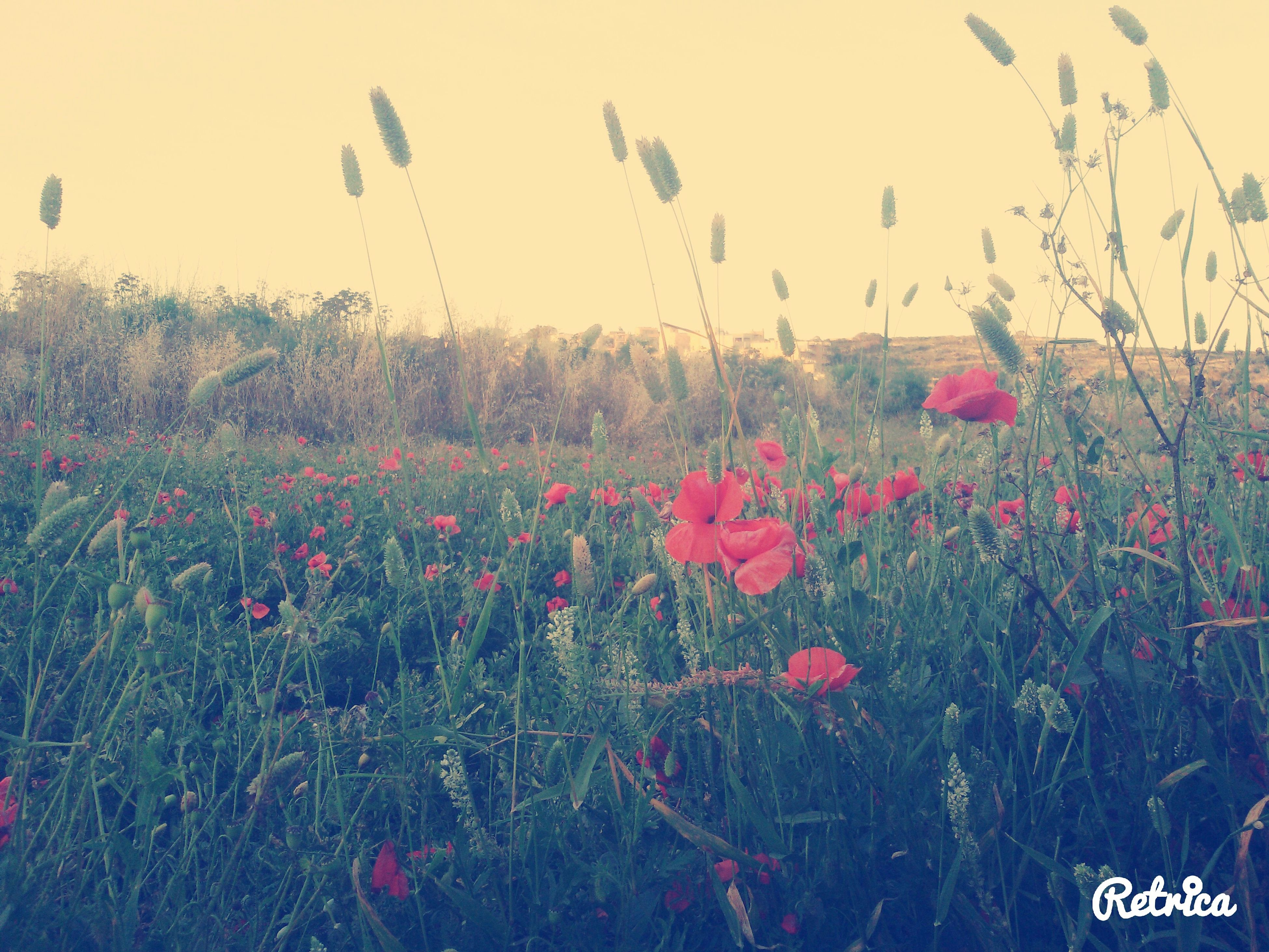 flower, growth, field, beauty in nature, freshness, plant, nature, blooming, landscape, red, sky, tranquility, fragility, tranquil scene, outdoors, scenics, no people, day, abundance, stem