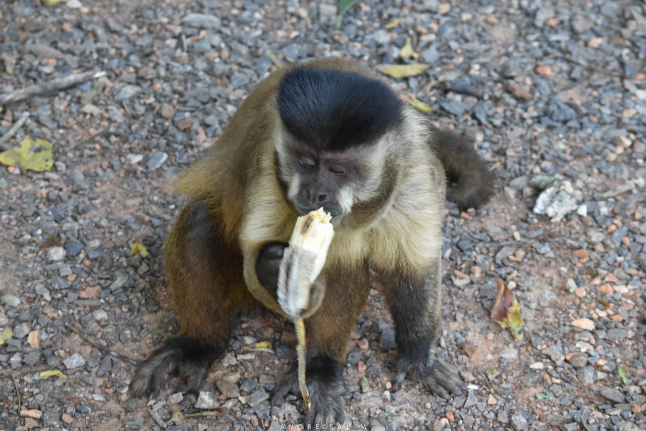 animal themes, monkey, animals in the wild, animal wildlife, mammal, outdoors, day, field, no people, one animal, young animal, nature, food, baboon