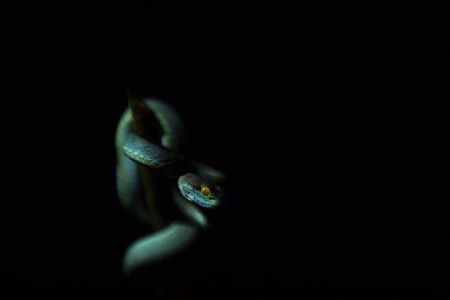 Large-eyed Green Pitviper Pitviper Snake Snakeface Snake Eyes SnakeEyes Snakes