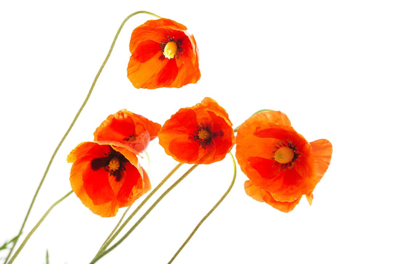 Beauty In Nature Flower Flower Head Freshness Nature No People Plant Poppy Poppy Flowers Studio Shot White Background