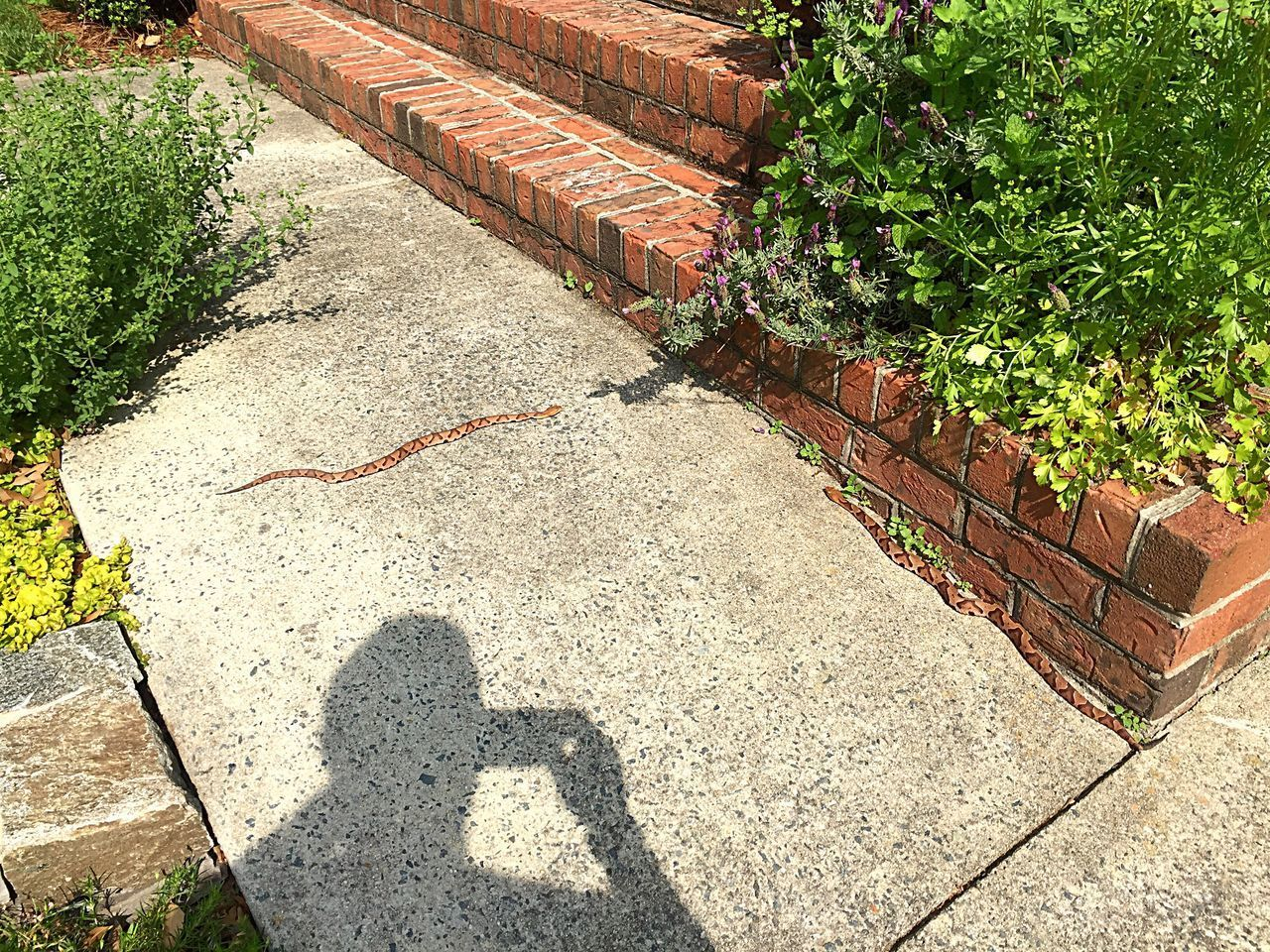 High Angle View Copperhead Babies Copper Hood Alley Outdoors Day Nature Reptile Poisonous Sunlight Shadow One Person