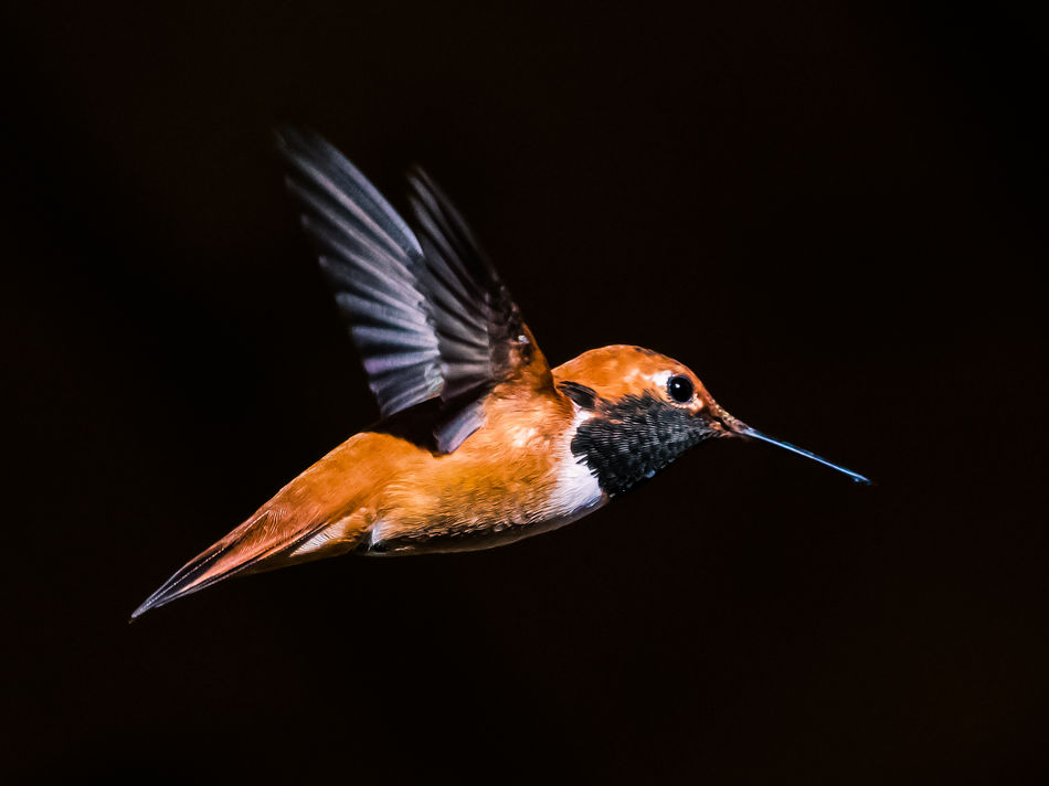 Animal Themes Animal Wildlife Animals In The Wild Beak Bird Black Background Close-up Day Flying Humming Bird Hummingbird Nature No People One Animal Outdoors Rufous Rufous Hummingbird Spread Wings