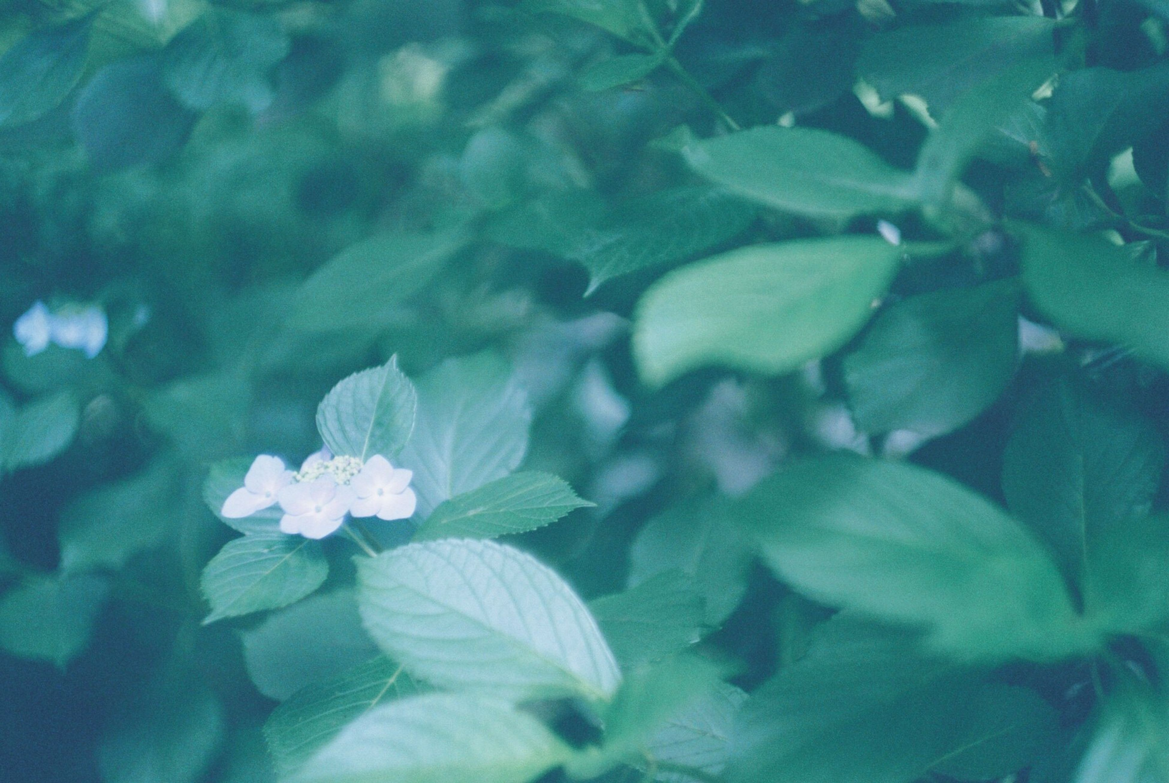 growth, flower, freshness, fragility, beauty in nature, leaf, nature, plant, close-up, petal, green color, blooming, flower head, focus on foreground, blue, outdoors, day, no people, tranquility, in bloom, selective focus, growing, botany, blossom, green, natural pattern, softness, backgrounds