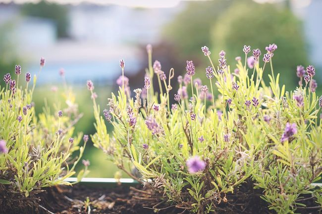 Lavender on the Balcony Summer Flowers Evening Golden Hour