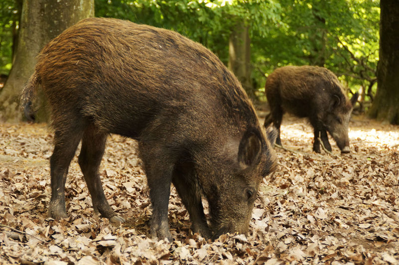 Two young wild boar looks for food in the foliage of the forest Nature Nature Photography Nature_collection Natureslovers Wild Boar Wild Boars Wildlife Wildlife & Nature Wildlife Photography Wildlife Photos