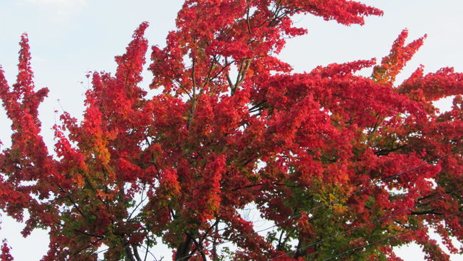 Beautiful Fall Colors Bright Red My Street Photography 🍁🍁🍁🍁Taking Photos Cadillac Pure Michigan