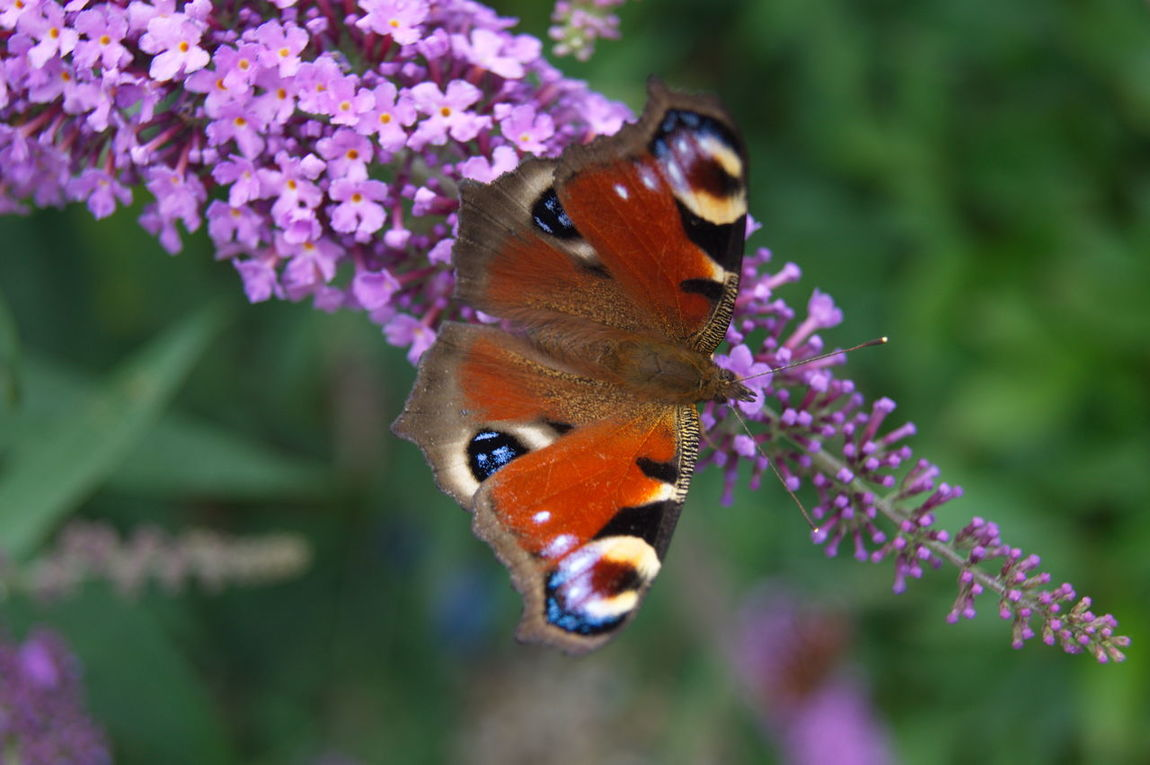 Animal Themes Animal Wildlife Animals In The Wild Beauty In Nature Butterfly - Insect Close-up Day Flower Flower Head Focus On Foreground Fragility Growth Insect Nature No People One Animal Outdoors Pollination Purple
