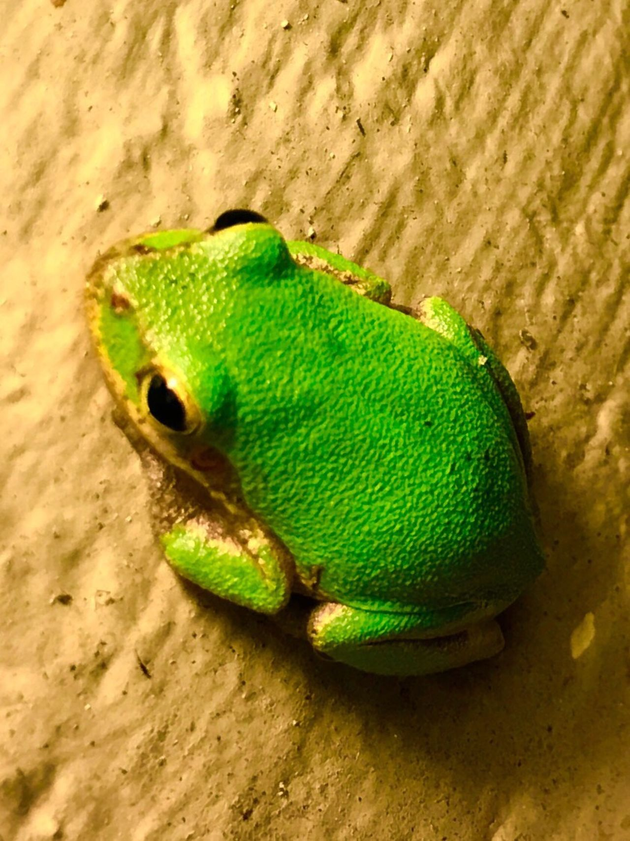 Friday night frog Frog Greenfrog Treefrog Nature Nature_collection Nature Photography Nature On Your Doorstep Amphibian Animal Themes One Animal Green Color Close-up Green Wildlife Vibrant Color