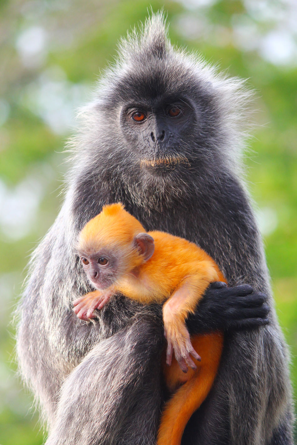 Adult silvered-leaf monkey holding orange coated young Adorable Animal Ape Baby Cute Langur Mammal Monkey Orange Primate Silvered-leaf Monkeys Wild Wildlife Young