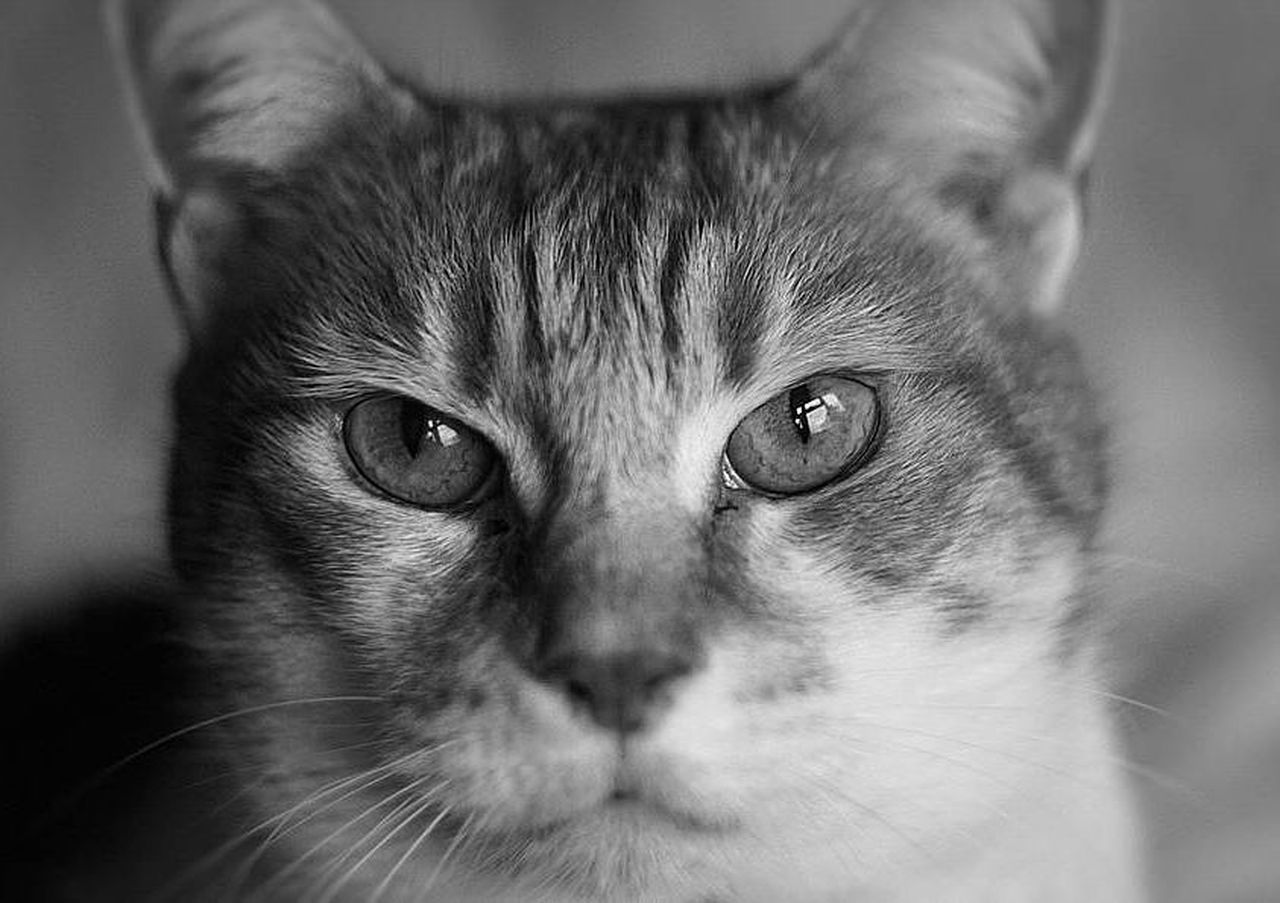 domestic cat, pets, one animal, domestic animals, portrait, looking at camera, feline, whisker, animal themes, close-up, no people, indoors, mammal, day