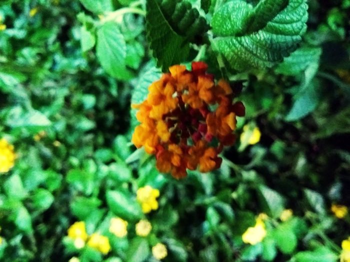 Flower Freshness Fragility Nature Growth Beauty In Nature Plant Outdoors Petal Day No People Blooming Close-up Lantana Camara Flower Head Let's Go. Together.