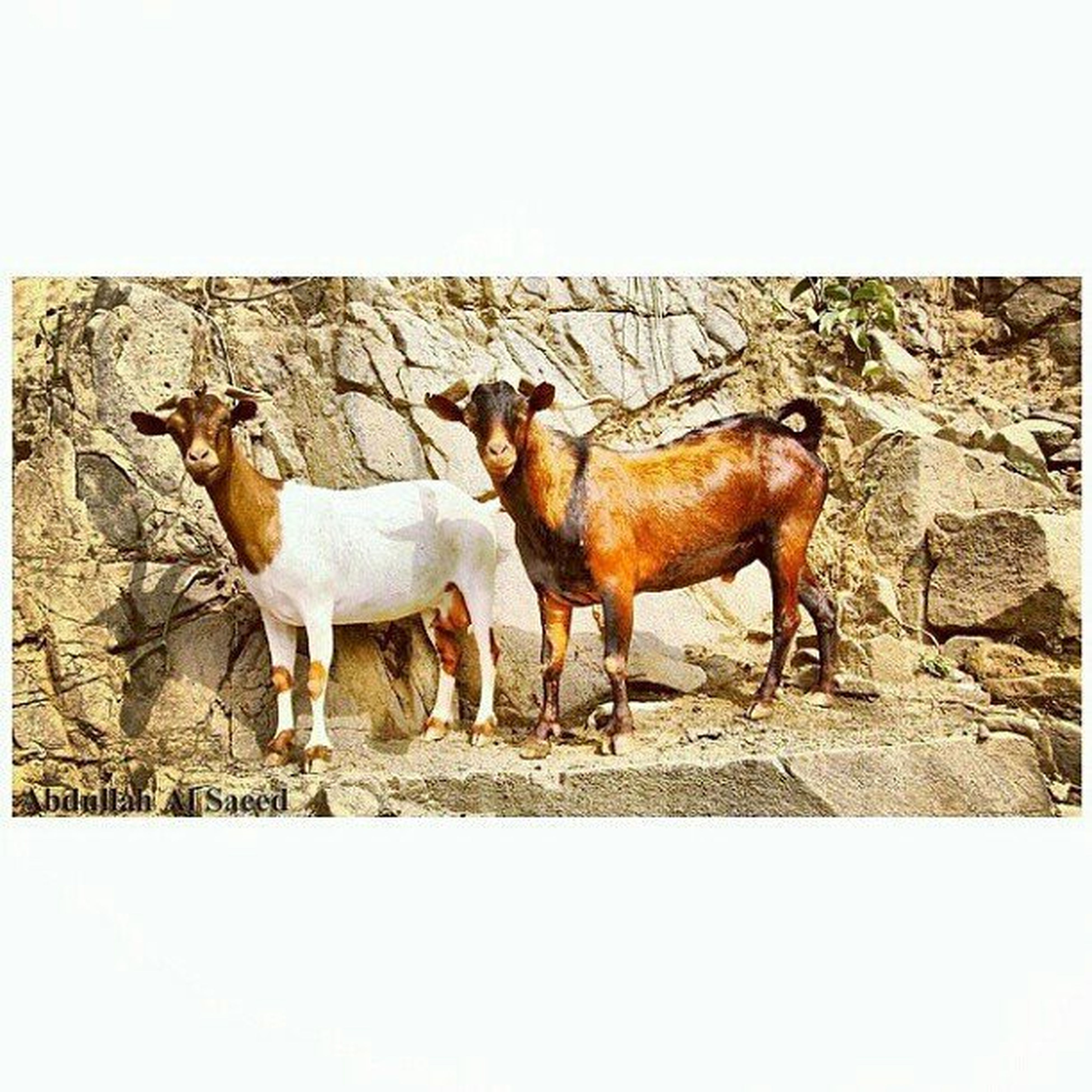 animal themes, domestic animals, livestock, transfer print, mammal, field, horse, two animals, full length, togetherness, auto post production filter, standing, herbivorous, three animals, medium group of animals, nature, sunlight, zoology, day, outdoors