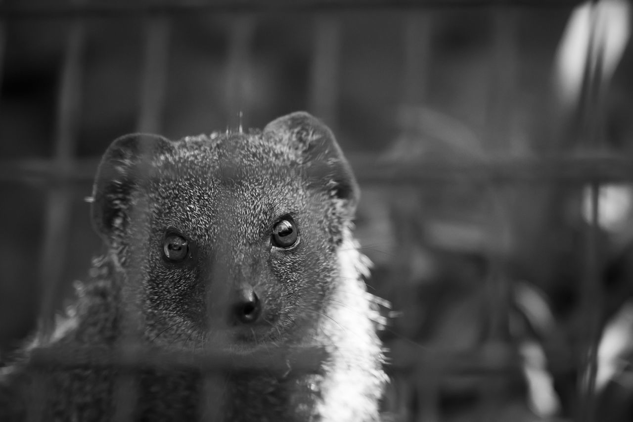 Behind The Cage Lonely Zoo Animals Black And White Photography Eye To Eye Mongoose Trapped
