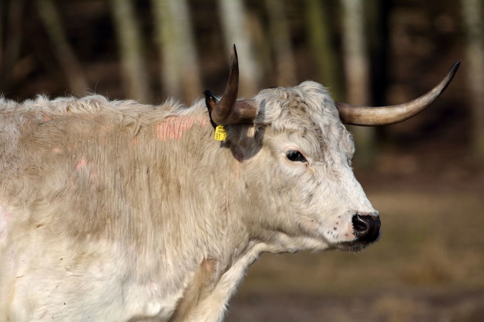 Animal Animals Bovine Cattle Englisches Parkrind Mammal No People One Animal Rind White Park Cattle Wildpark Schorfheide Nikon D7100 Sigma 150-600c