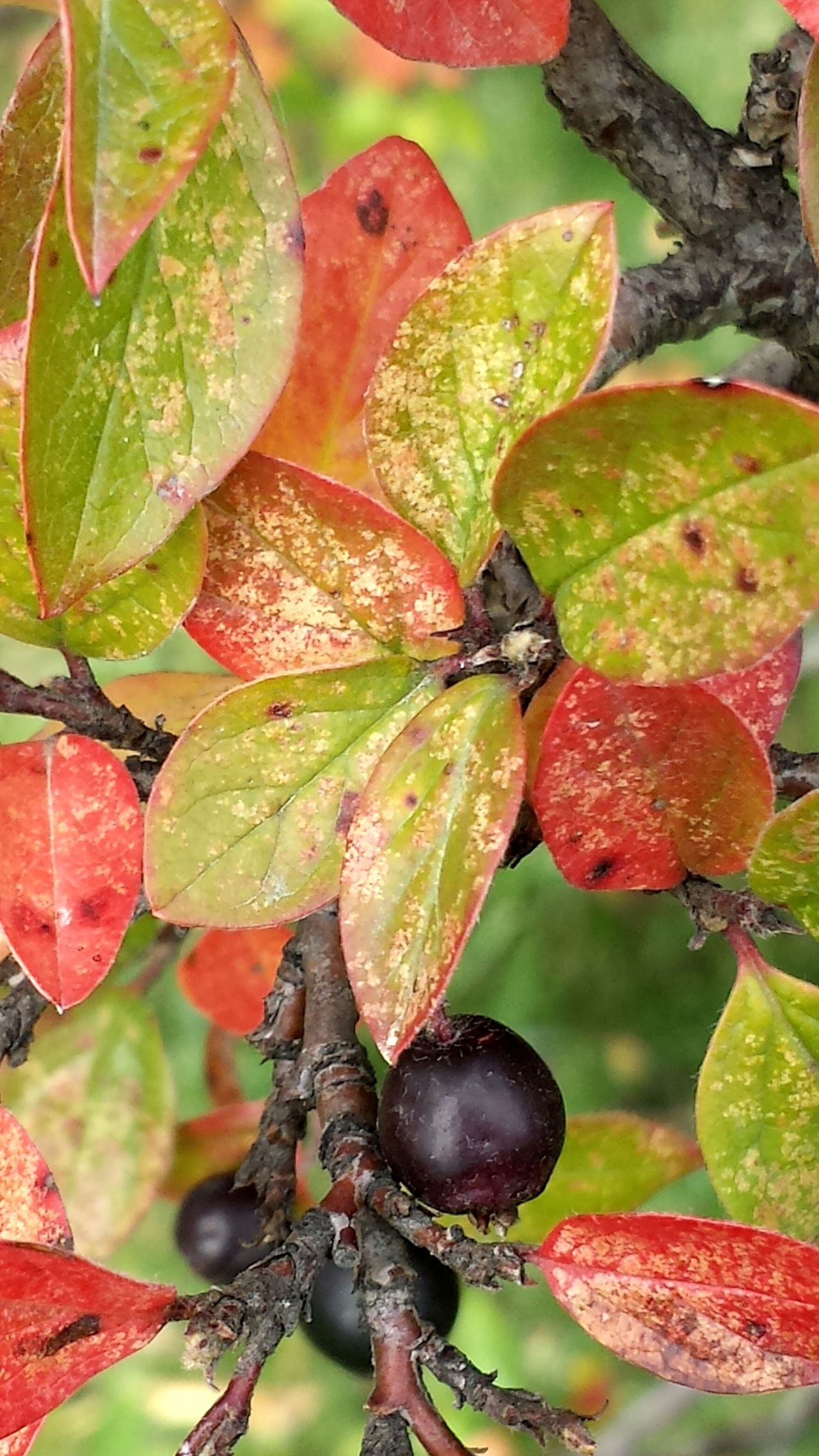 Agriculture Beauty In Nature Close-up Day Freshness Fruit Green Color Growth Leaf Nature No People Outdoors Red Tree