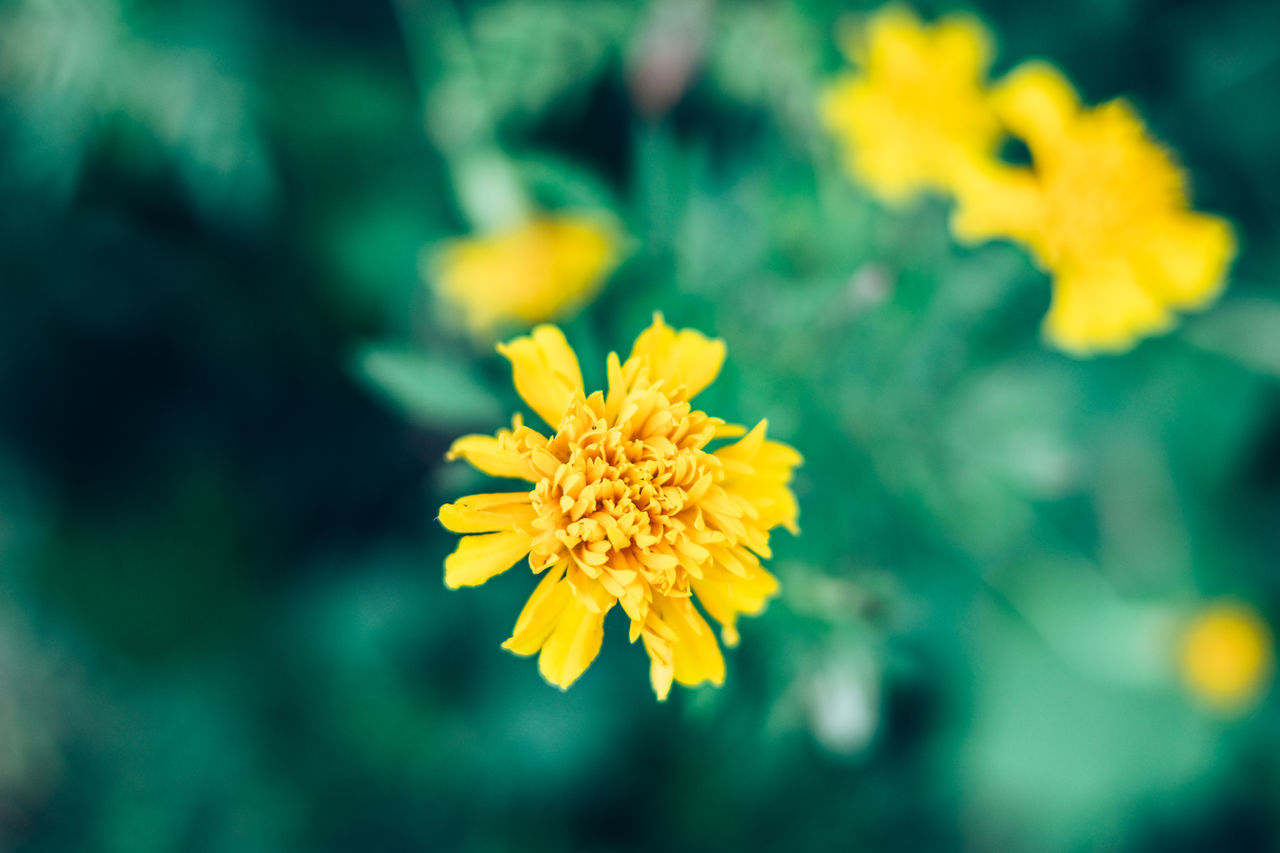 Beauty In Nature Blooming Close-up Contrast Copy Space Creamy Bokeh Day Flower Flower Head Focus On Foreground Fragility Freshness Growth Herbal Marigold Medicinal Nature Outdoors Petal Plant Pollen Yellow