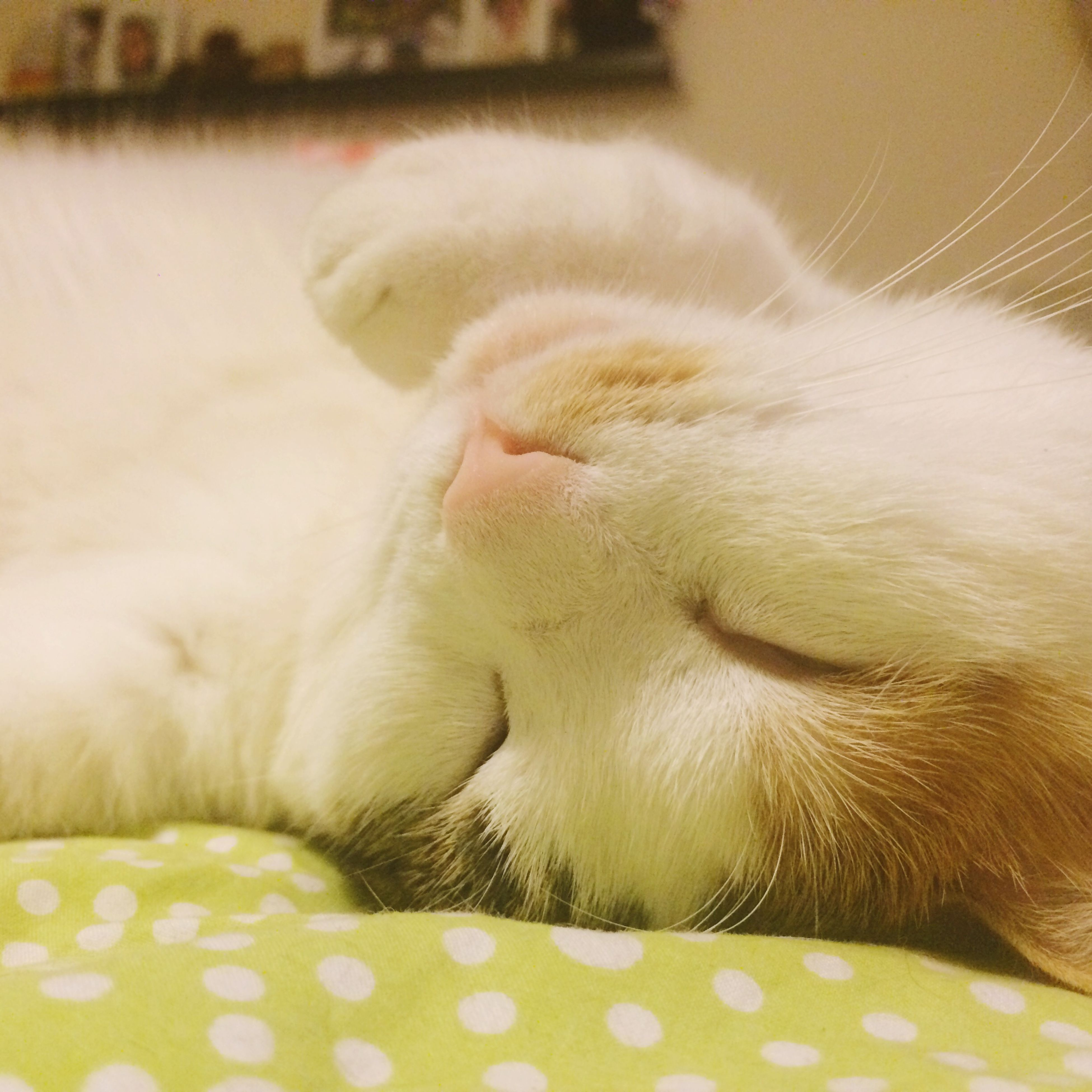 pets, domestic animals, domestic cat, animal themes, cat, one animal, mammal, indoors, feline, relaxation, whisker, close-up, resting, lying down, sleeping, animal head, eyes closed, zoology, animal body part, bed