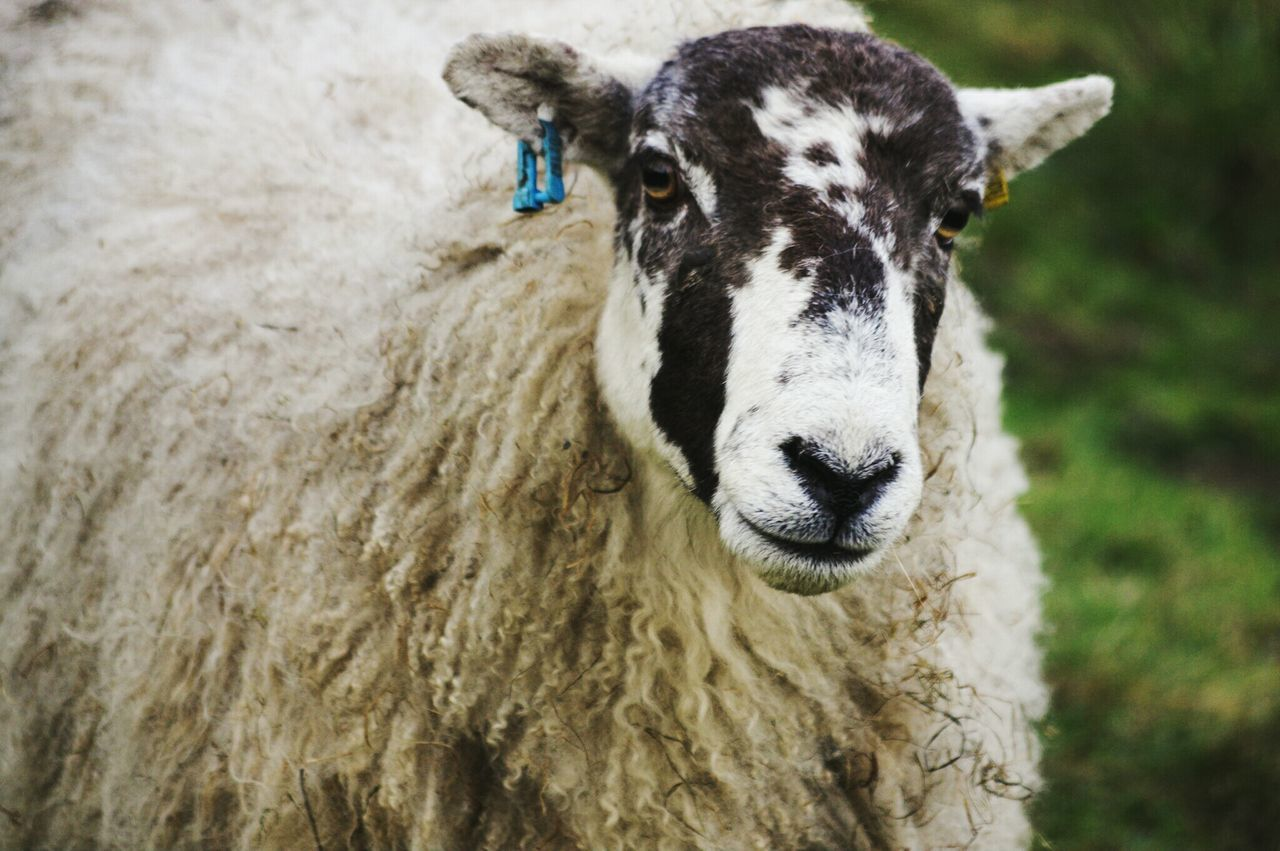 domestic animals, one animal, animal themes, mammal, focus on foreground, livestock, day, outdoors, close-up, no people, sheep, portrait, nature