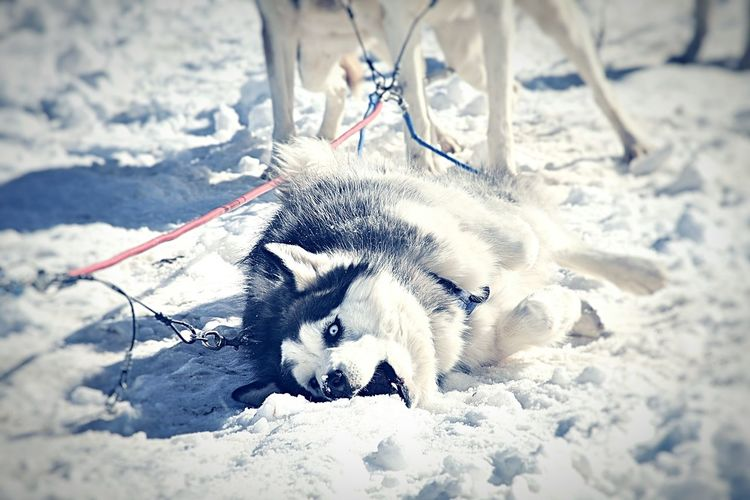 One Animal Outdoors Animals In The Wild Nature No People Animal Themes Sleddog Husky Close-up Snow Day Snowdogs Wilderness Area Fun Motion Lifestyles Day Doginsnow Sled Dog Tour Sled Ride!! Shades Of Winter